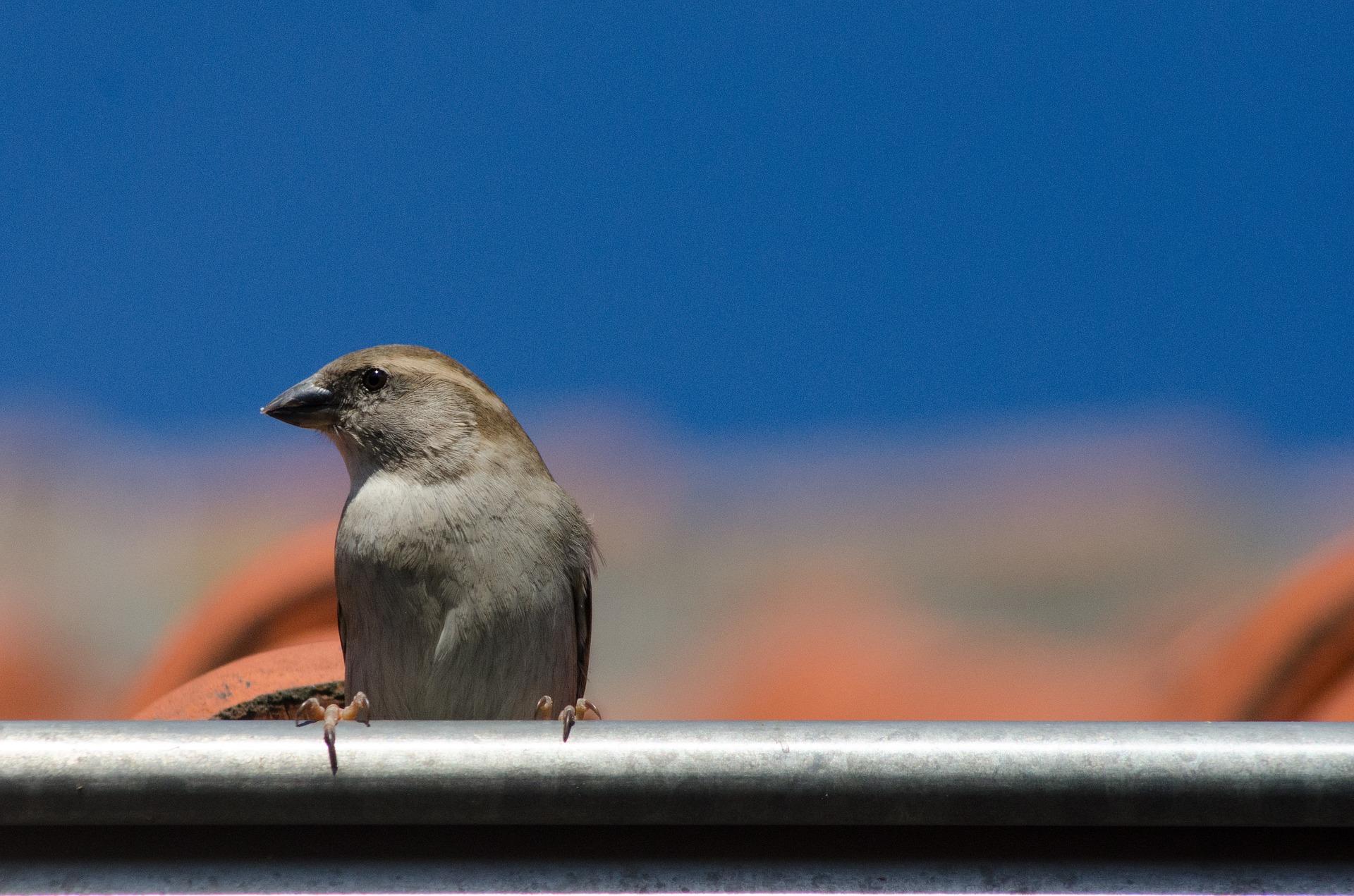 sparrow-2214259_1920